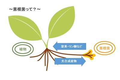 菌根菌含有打ち込み型肥料 マイコスパイク photo4